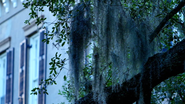 savannah, ga: spanish moss covered architecture - muschio video stock e b–roll