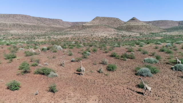 vídeos de stock e filmes b-roll de savannah in namibia. aerial view of giraffes walking between trees - planície