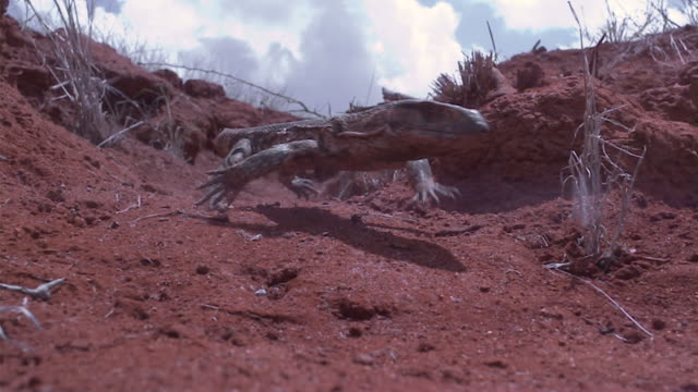 slomo savannah monitor lizard runs along trail, kenya - lizard stock videos and b-roll footage