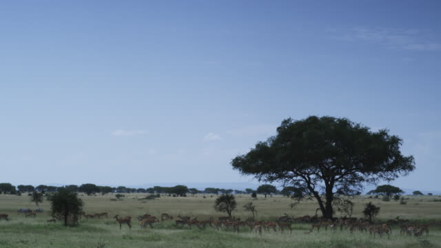 ws savannah with with tree and impala antelope in foreground - 平地点の映像素材/bロール