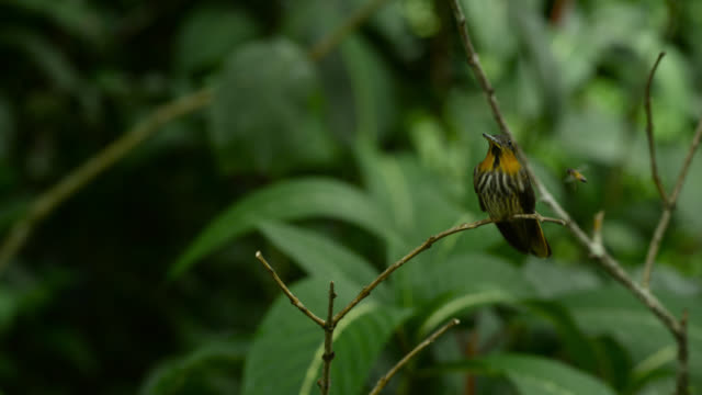 saw billed hermit (ramphodon naevius) gets startled by bee flying nearby. - hummingbird stock videos and b-roll footage