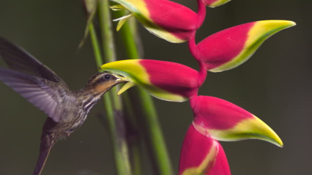 Saw billed hermit (Ramphodon naevius) hovers and feeds from false bird of paradise flower (Heliconia rostrata).