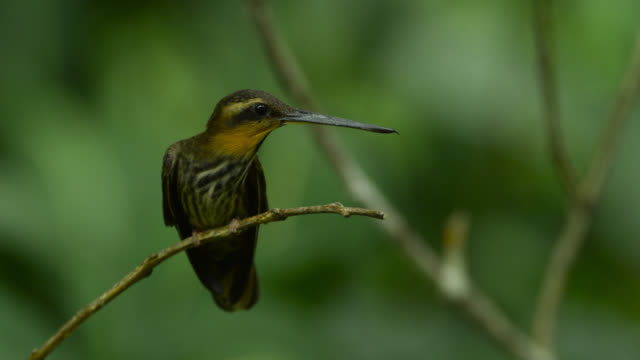 saw billed hermit (ramphodon naevius) takes off from branch. - bird stock videos & royalty-free footage