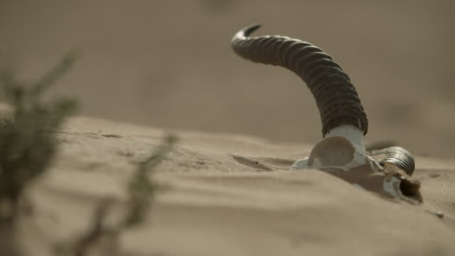saw scaled viper (echis carinatus) sidewinding past gazelle skull, uae - animal skull stock videos and b-roll footage