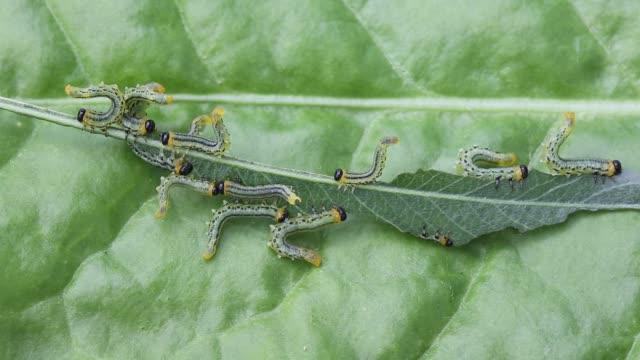 Sawfly larvae, Craesus septentrionalis consumming a willow leaf.