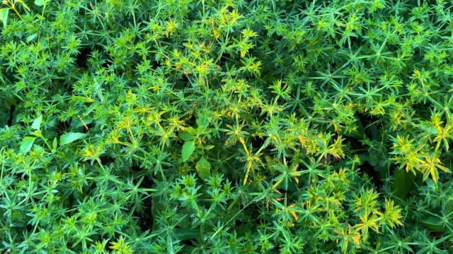 sawtooth coriander - coriander stock videos & royalty-free footage