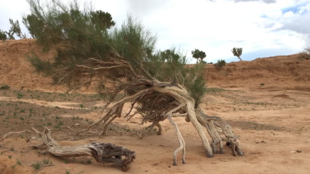 Saxaul (Haloxylon ammondendron) trees, near a freshwater lake, Gobi desert, Mongolia