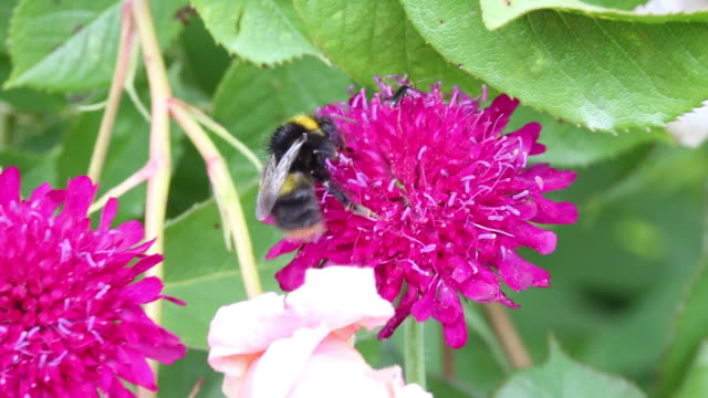 a scabius flower being pollinated by a bumblebee t - bumblebee stock videos & royalty-free footage
