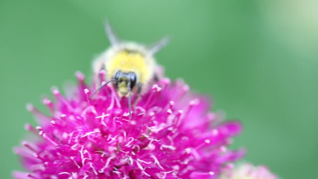 A Scabius flower being pollinated by a Bumblebee t