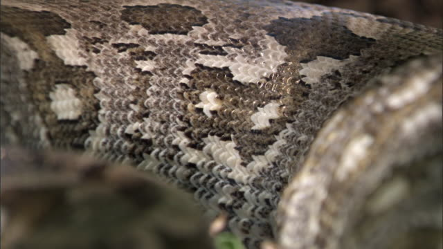 Scales and flank of Madagascan ground boa snake (Acrantophis madagascariensis), Madagascar
