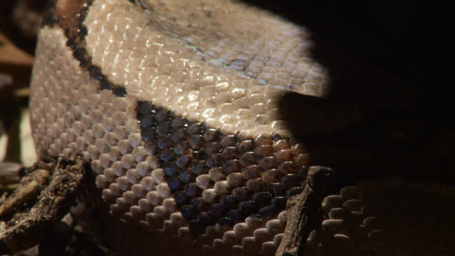scales of boa constrictor as snake rests in forest undergrowth. - scaly stock videos and b-roll footage