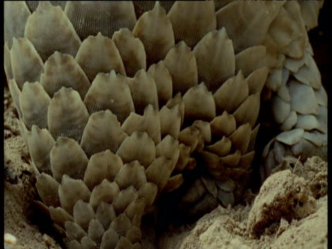 Scales of Temminck's Pangolin as it digs out ants nest, Africa