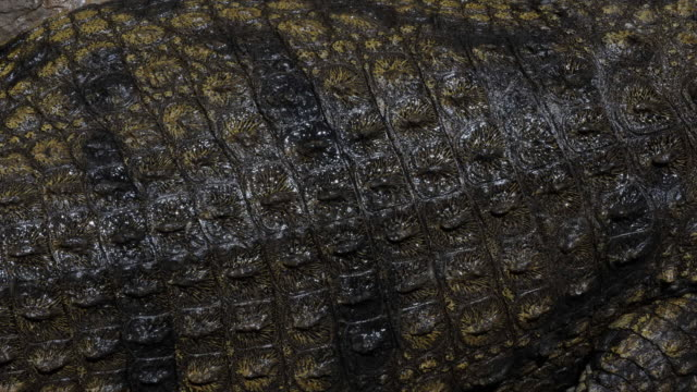 Scales on back of nile crocodile. Available in HD.