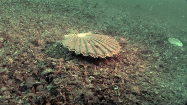 scallop (pecten maximus) on the seabed. as the diver approaches it swims off by repeatedly contracting the halves of its shell. filmed off the pembrokeshire coast, uk - ホタテ点の映像素材/bロール