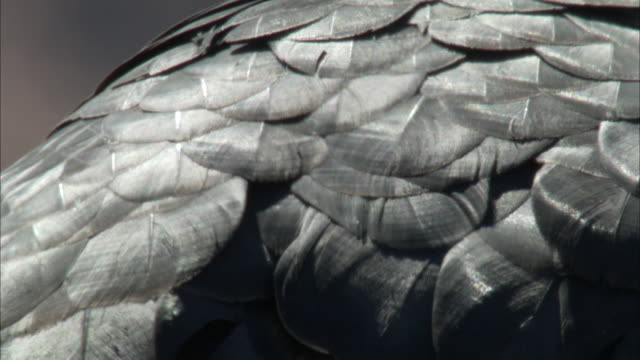 scallop pattern of california condor feathers - extreme close up stock videos & royalty-free footage