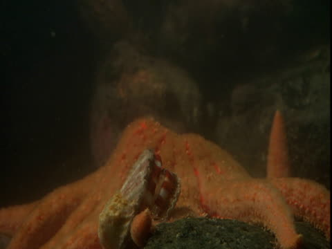 A scallop skitters past a huge orange sea star.