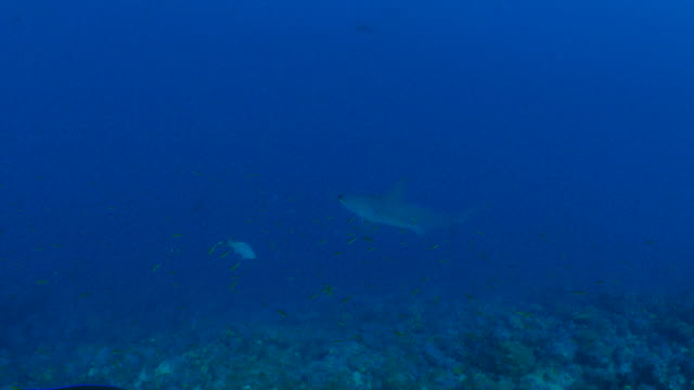 Scalloped Hammerhead shark cruising at coral reef
