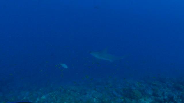 scalloped hammerhead shark cruising at coral reef - galapagos shark stock videos & royalty-free footage