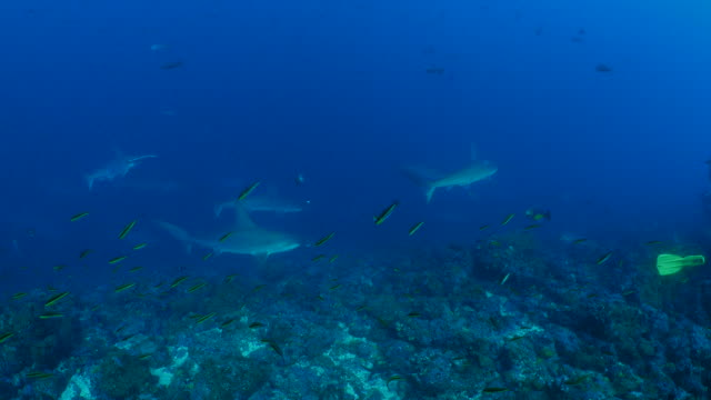 scalloped hammerhead shark cruising at undersea reef - galapagos shark stock videos & royalty-free footage