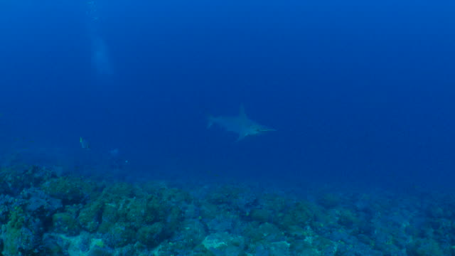 scalloped hammerhead shark cruising at wolf island - galapagos shark stock videos & royalty-free footage