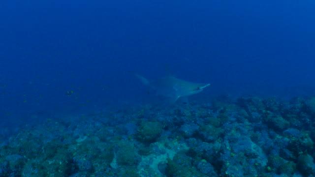 scalloped hammerhead shark encounter undersea, galapagos - galapagos shark stock videos & royalty-free footage