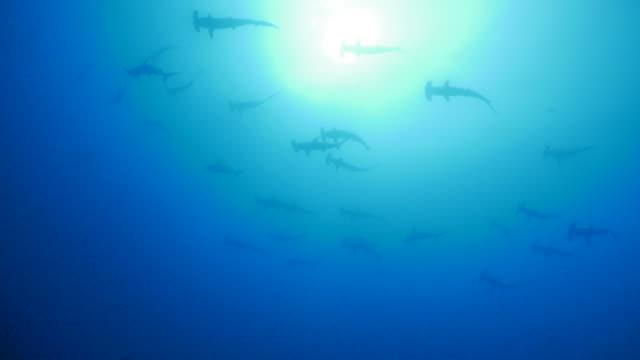 Überbackene Hammerhead Shark Schulbildung unter der Meeresoberfläche