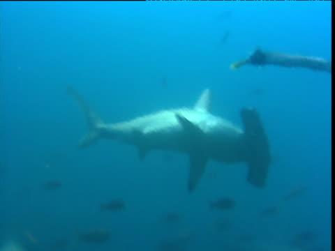 scalloped hammerhead shark swimming as seen through temperature haze, galapagos - galapagos shark stock videos & royalty-free footage