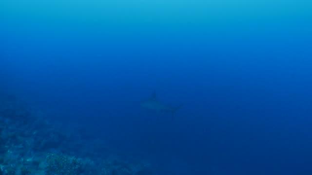scalloped hammerhead shark swimming at deep sea reef - galapagos shark stock videos & royalty-free footage