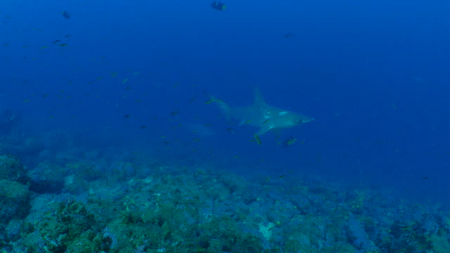 scalloped hammerhead shark swimming close to camera - galapagos shark stock videos & royalty-free footage