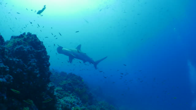 Scalloped Hammerhead shark swimming close to coral reef