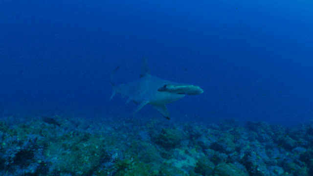Scalloped Hammerhead shark swimming close to diver undersea