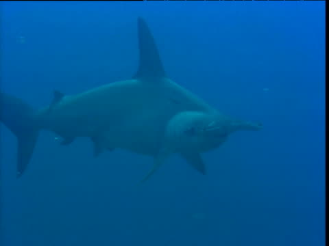 scalloped hammerhead shark swims over camera, galapagos islands - galapagos shark stock videos & royalty-free footage