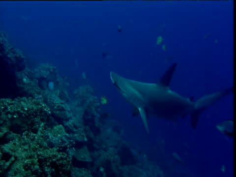 scalloped hammerhead shark swims over reef whilst eating, galapagos - galapagos shark stock videos & royalty-free footage