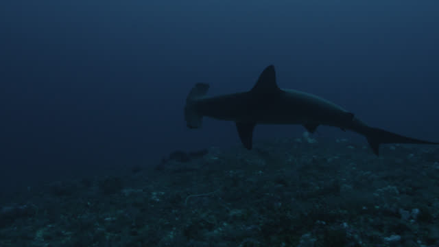 Scalloped hammerhead shark (Sphyrna lewini) swims over sea bed. Japan