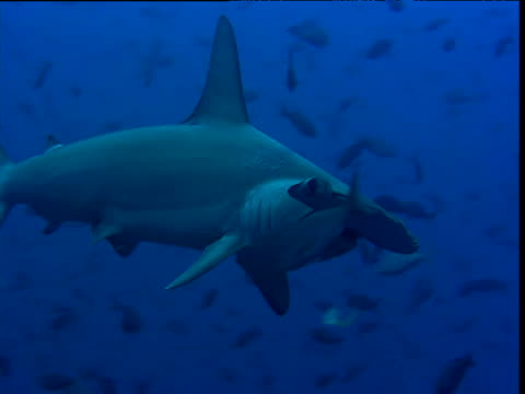 scalloped hammerhead shark swims past camera, galapagos - galapagos shark stock videos & royalty-free footage