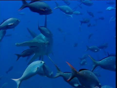 scalloped hammerhead shark swims past shoal of pacific creole fish (paranthias colonus), galapagos - galapagos shark stock videos & royalty-free footage