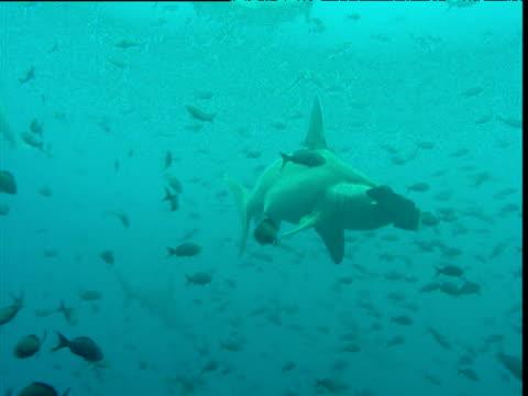 Scalloped hammerhead shark swims through fish shoal, Galapagos