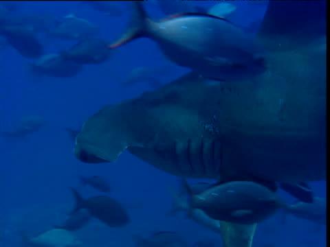 Scalloped hammerhead shark swims through shoal of Pacific Creole fish (Paranthias colonus), Galapagos