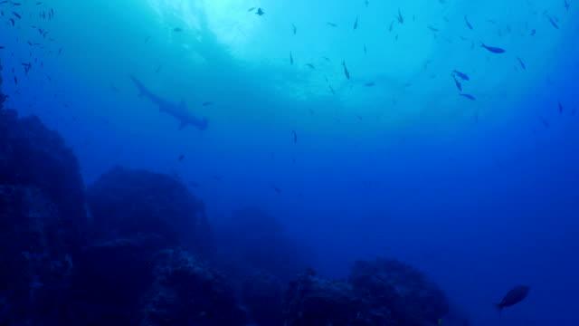 Flerhornig hammarhaj, undervattenskabeln reef, Wolf Island