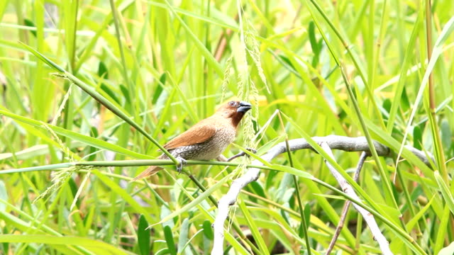 scaly breasted munia - scaly stock videos and b-roll footage