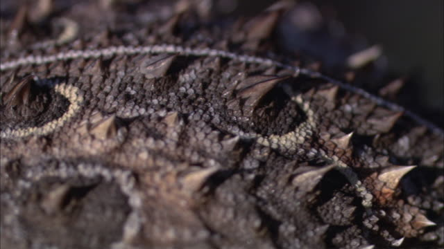 pan scaly, thorny spine and head of a horned lizard / sonoran desert, arizona, united states - scaly stock videos and b-roll footage