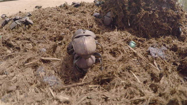 Scarab or Dung Beetles on elephant dung
