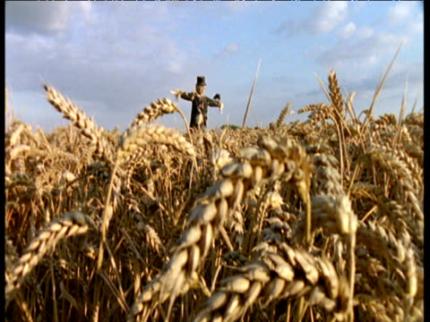 Scarecrow in cornfield, jackdaw flies from its arm