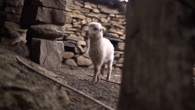 scared sheep breed looking for her mother enters the small stable - 農林水産関係の職業点の映像素材/bロール