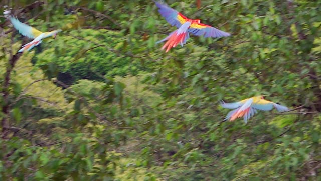 scarlet and two hybrid macaws flight right, land in trees, slow motion, costa rica - macaw stock videos & royalty-free footage