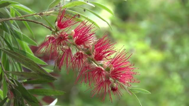 scarlet bottlebrush - tropical bush stock videos and b-roll footage