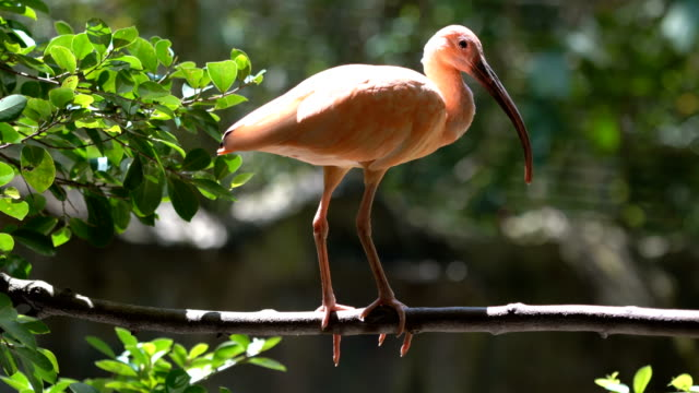 scarlet ibis bird - becco video stock e b–roll