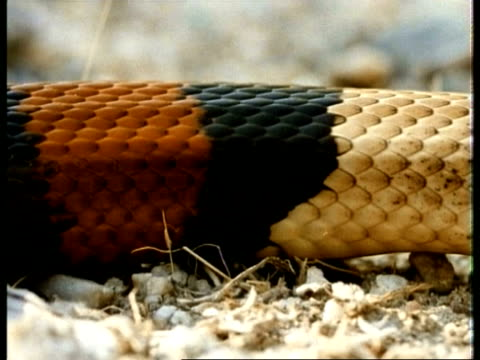 cu scarlet kingsnake, pattern of coloured bands, head on ground looking to camera, flicks tongue, usa - animal markings stock videos & royalty-free footage