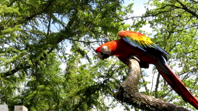 scarlet macaw, ara macao, in tree - scarlet macaw stock videos and b-roll footage