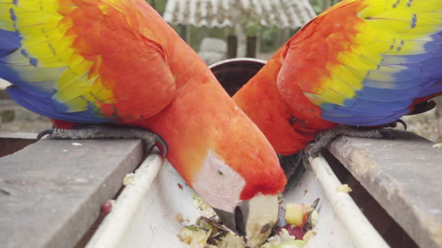 scarlet macaw at copan honduras national park - scarlet macaw stock videos and b-roll footage